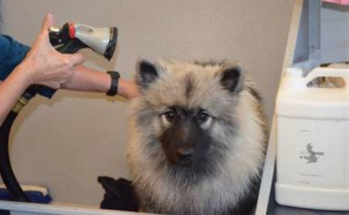 blow drying Keeshond